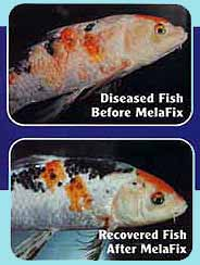 New for Milky koi fish