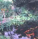 Garden pond with selection of fish
